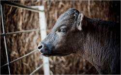 Cloned Bull Got