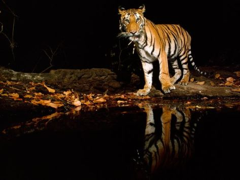 Fight To Save Wild Tiger
